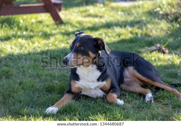 Appenzeller Sennenhund Dog Lying Grass Portrait Stock Photo