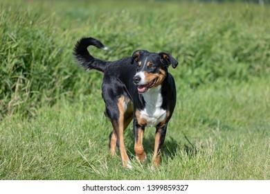 Appenzeller Mountain Dog Images Stock Photos Vectors