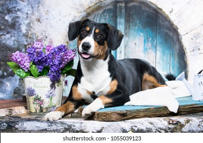 Appenzeller Sennenhund in front of white background