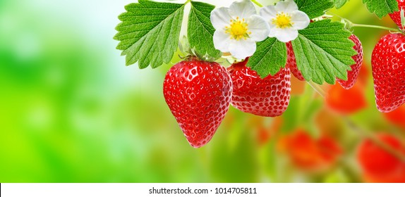 appetizer gardening strawberry