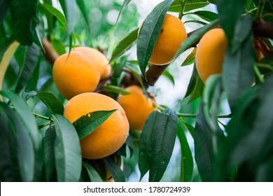 appetizing ripe yellow peaches on tree in garden