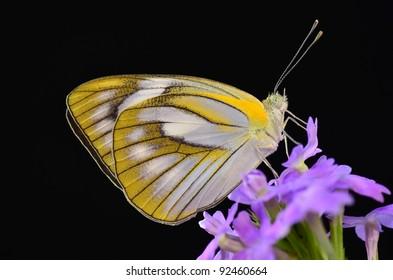 Appias olferna peducaea butterfly