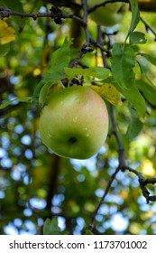 Apple after rain close-up. An Apple on a tree branch.