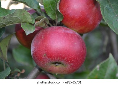 Apple. Apples average maturity. Fruits apple on the branch. Apple tree. Agriculture. Growing fruits. Garden. Close-up. Horizontal