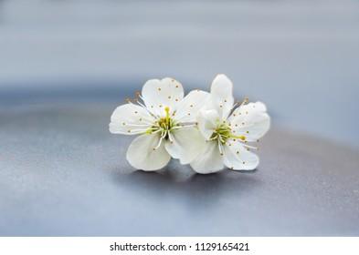 apple bloom on grey background
