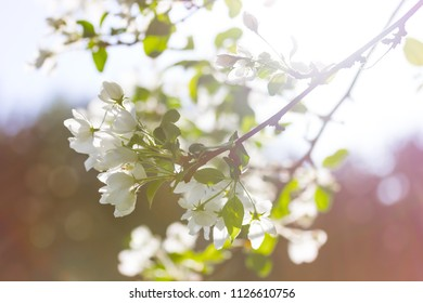 Apple blossom branch close up with beautiful light flare