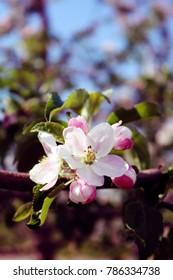 Apple Blossom Branch in Spring