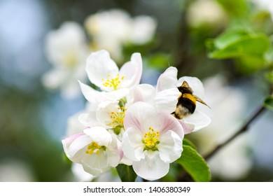 Apple blossom bumblebee spring scene. Apple blossom bumble bee in spring blooming scene. Spring apple blossom bumblebee. Spring blooming apple blossom bumblebee macro scene