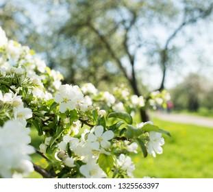 Apple blossom close up