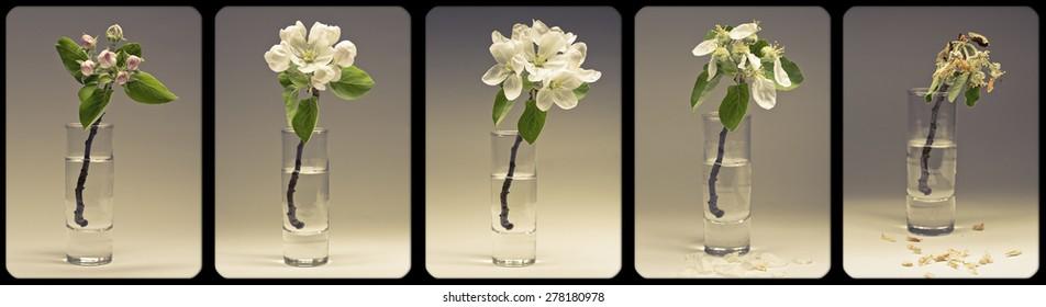 apple blossom fades in a glass
