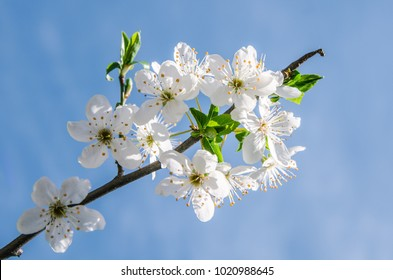 Apple blossom flowers in spring, blooming on young tree branch after the last snowfall in April, isolated over blurred blue clear sky