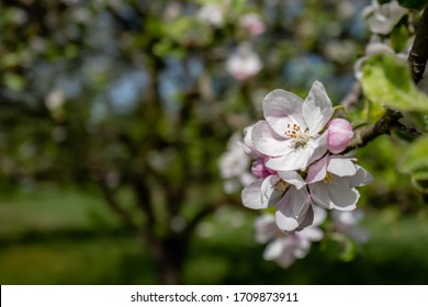 An Apple blossom in front of a soft Apple tree in the background