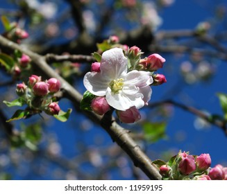 Apple Blossom - Gravenstein