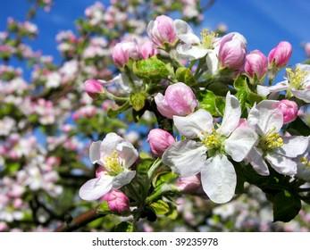 Apple blossom (Malus domestica)