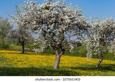 apple blossom meadow with blue sky yellow flowers on green field in south german rural countryside