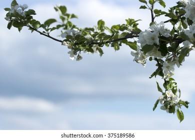 Apple blossom on apple tree