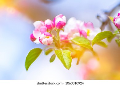 Apple blossom on an apple tree in a domestic garden with sun shining behind. Focus is on the foreground with the background out of focus.