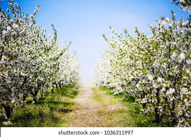 apple blossom on tree, spring time