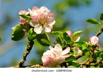 Apple blossom on tree in spring against blue sky