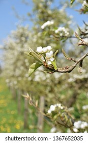 Apple blossom in an orchard in the Betuwe area Holland