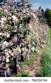 Apple Blossom Orchard Trees in Spring