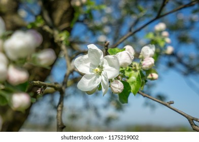 Apple blossom in spring.