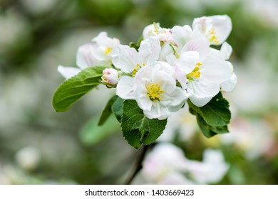 Apple blossom spring bloomig view. Spring blooming apple blossom macro view. Apple blossom spring bloom. Spring blooming apple blossom