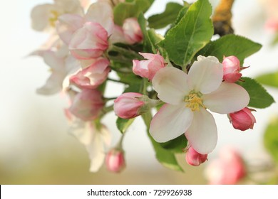 apple blossom, apple tree in garden