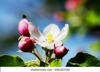 Apple blossoms with blue sky
