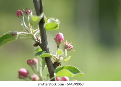 Apple, apple blossoms, apple blossoms, buds