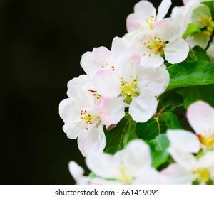 Apple Blossoms Closeup Macro
