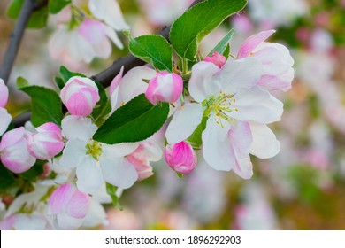 Apple blossoms, flowers and buds of apple trees on the tree