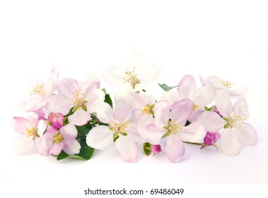 Apple blossoms - isolated