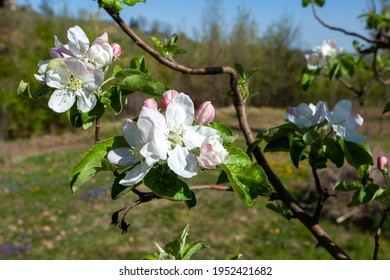 apple blossoms, meadows and hedges in the hills europe