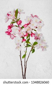 Apple blossoms open on a white background.  Brush strokes and cracked canvas textures make the still life appear as a painting.
