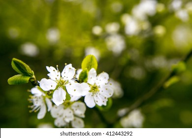 Apple blossoms over blurred nature background/ Spring flowers/Spring Background with bokeh