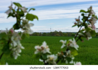 Apple blossoms in spring in Stuttgart. in the background the stuttgarter fernsehturm