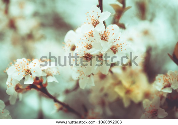 Apple blossoms - the trees come to life