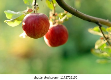 Apple branch with ripe juicy fruits in the garden. Summer or early autumn