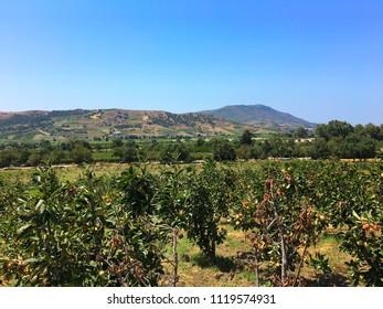 Apple field in Dellys, Algeria.