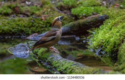Apple Finch by water