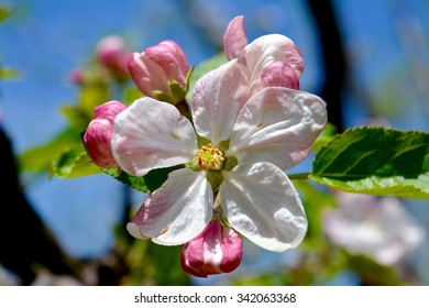 An apple flower