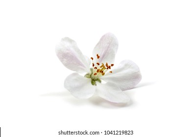 Apple flower isolated on white background
