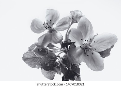 apple flowers, black and white image, white background.