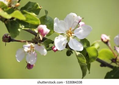 apple flowers bloom, natural background