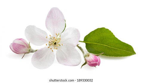 Apple Flowers with buds isolated on  white
