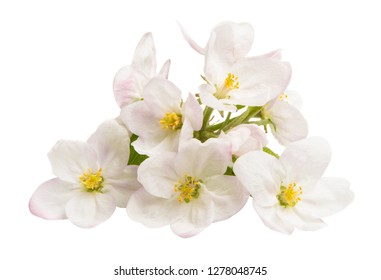 apple flowers isolated on white background