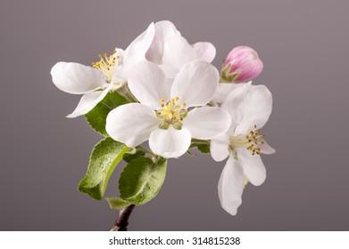 Apple flowers on dark background.