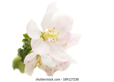 apple flowers on a white background