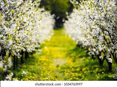apple garden, blossom on tree, spring time